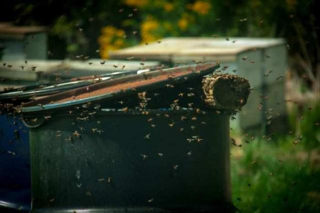 Bees !! - 40-Years-After-the-Fire3.jpg